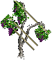 Grapevines east 2.png